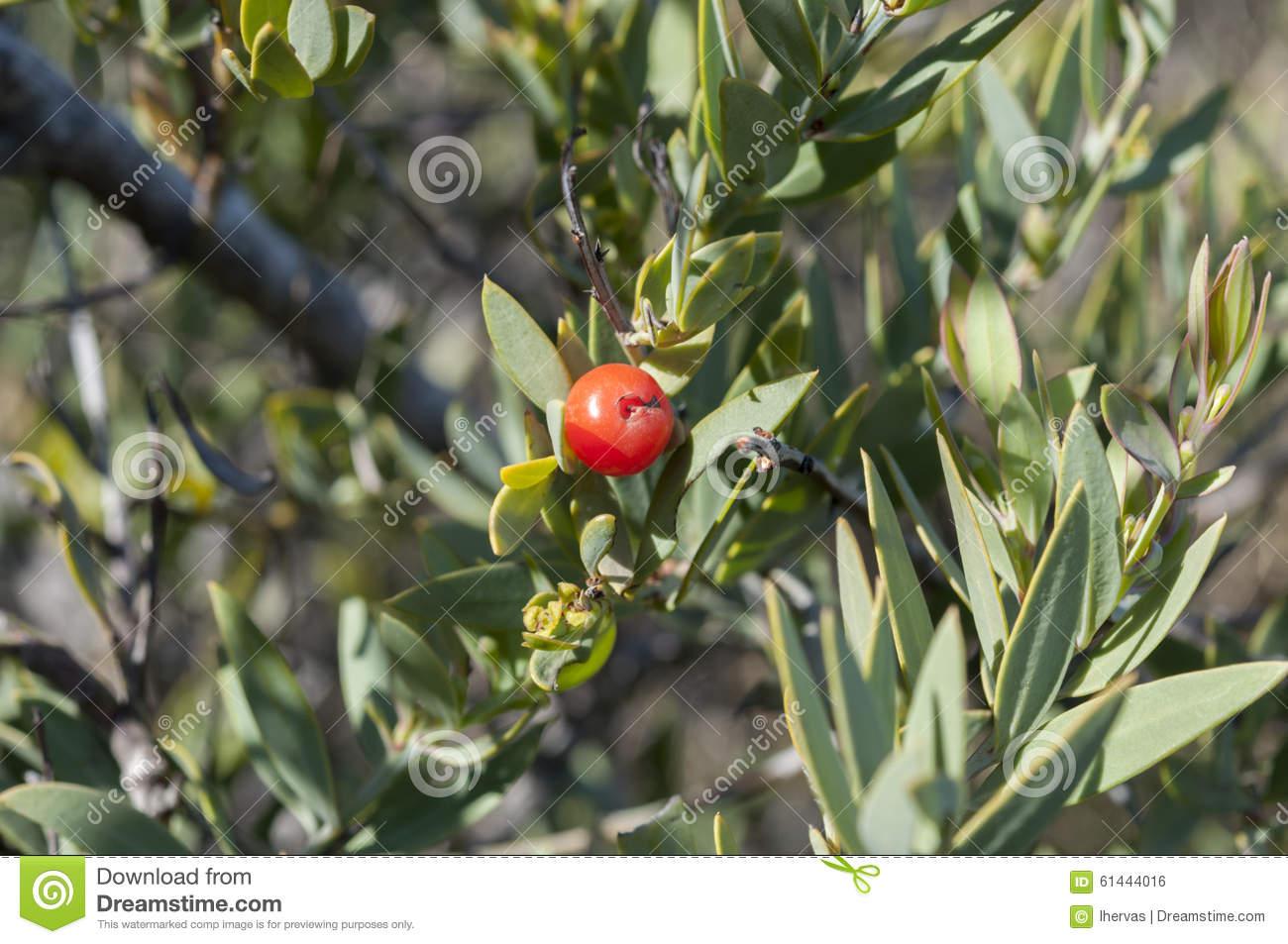 Detail Of Fruit Of Osyris Lanceolata Stock Photo.