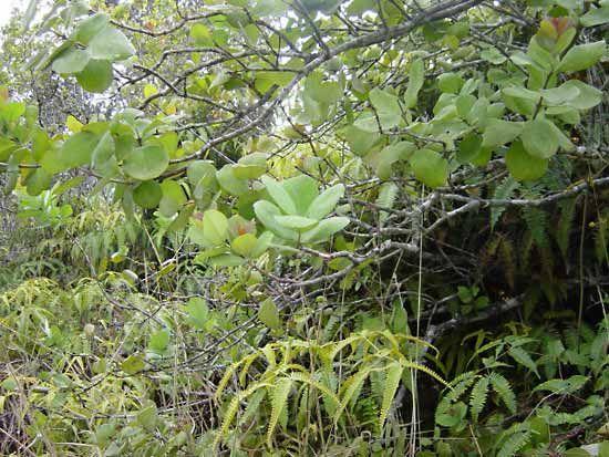 Any semiparasitic plant of the genus Santalum (family Santalaceae.