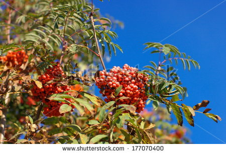 Desert Quandong Santalum Acuminatum Fruits Curtin Stock Photo.