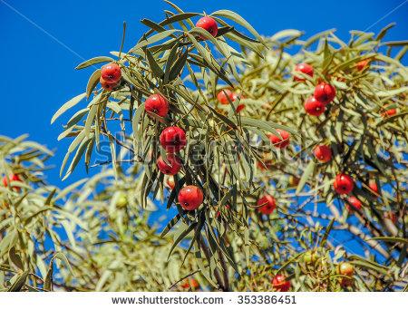 Wild Melons Citrullus Lanatus Desert On Stock Photo 353574893.