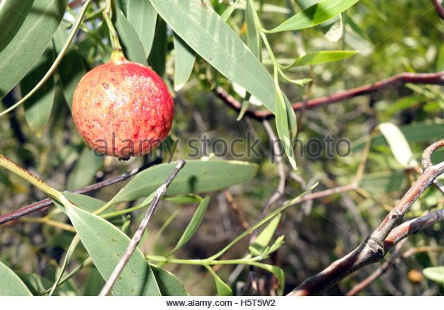 Australian Native Fruits Stock Photos & Australian Native Fruits.
