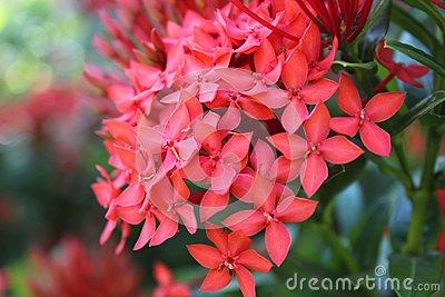 Santan Flower Stock Photos, Images, & Pictures.