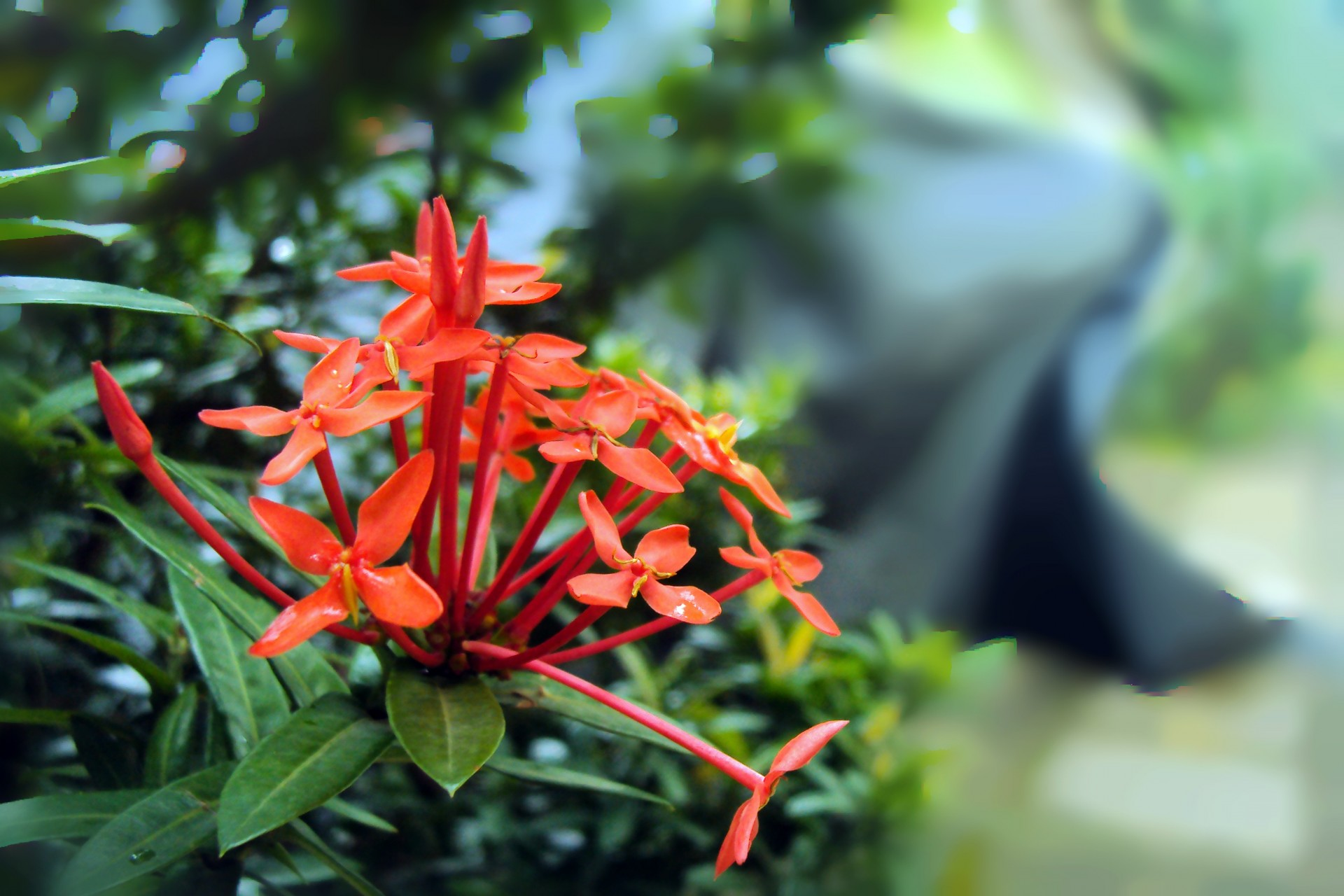 Santan Flower Free Stock Photo.