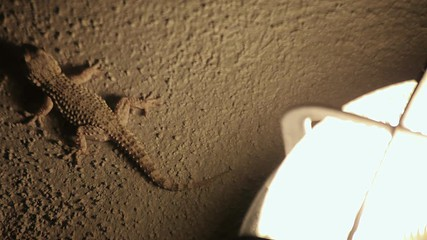 Search photos gekkonidae.