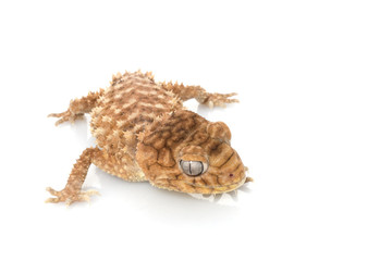 Buscar fotos: gekkonidae.