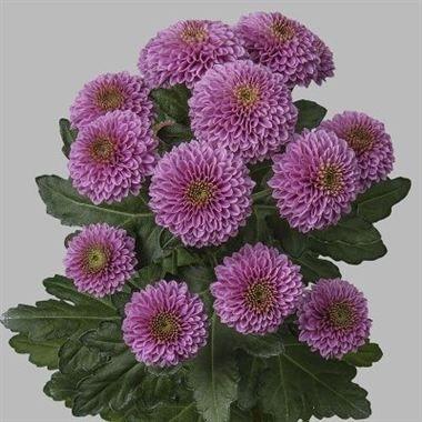 1000+ images about {Chrysanthemum Santini} on Pinterest.