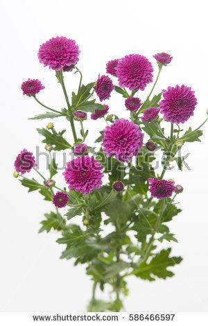 Chrysanthemum Indicum Stock Images, Royalty.