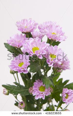 "chrysanthemum_indicum"" Stock Photos, Royalty."