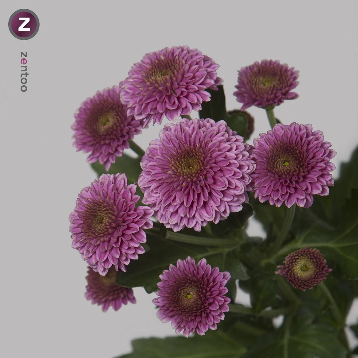 Chrysanthemum Santini.