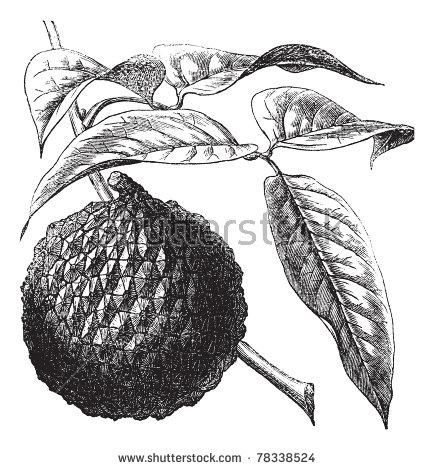 Sapindaceae Stock Vectors & Vector Clip Art.