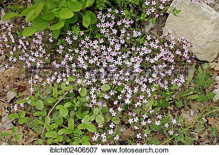 "Picture of ""Rock Soapwort (Saponaria ocymoides), Provence."
