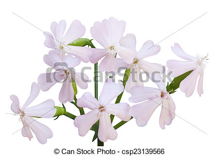 Stock Image of Soapwort Flower.