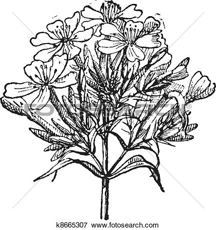 Clip Art of Common Soapwort or Saponaria officinalis vintage.