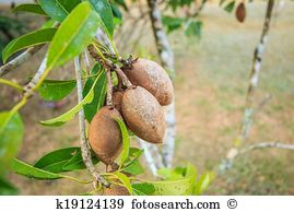 Sapotaceae Images and Stock Photos. 106 sapotaceae photography and.
