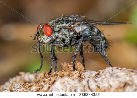Sarcophagidae Stock Photos, Royalty.