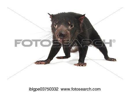 Stock Photo of Tasmanian Devil (Sarcophilus harrisii.