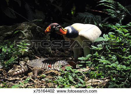 Stock Photo of king vulture sarcoramphus papa feeding on a dead.