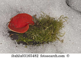 Coccinea Stock Photos and Images. 509 coccinea pictures and.