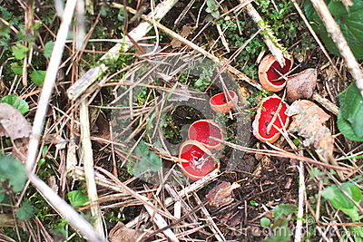Red Mushroom Scarlet Cup Sarcoscypha Stock Photo.