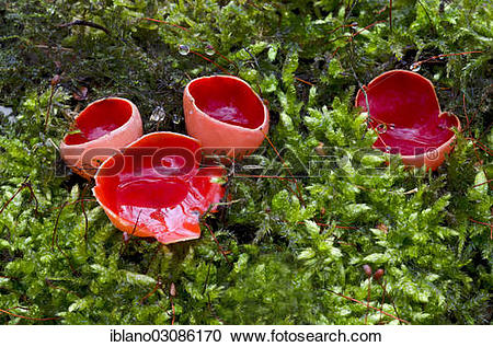 """Stock Photography of """"Scarlet cup, scarlet elf cup or cap."""
