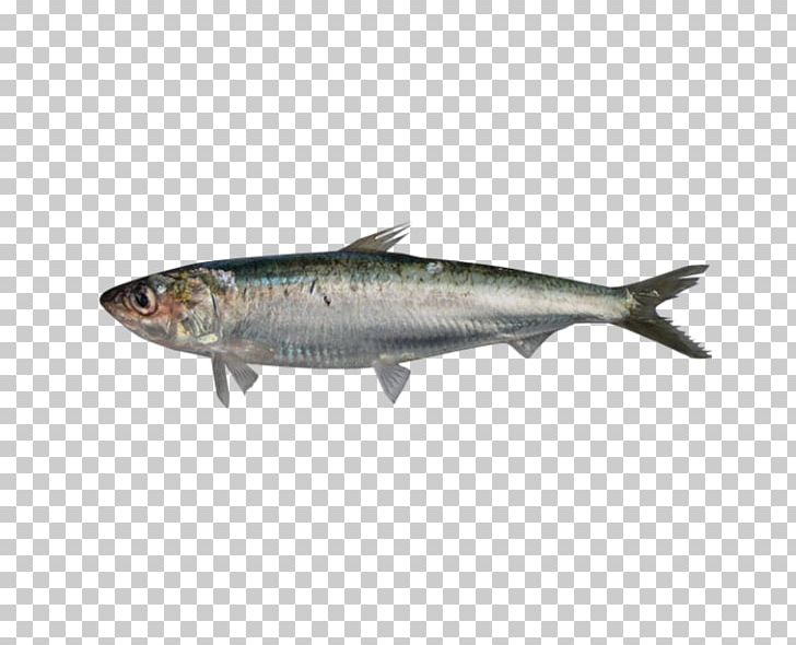 Sardine European Pilchard Fish European Anchovy Pelagic Zone.