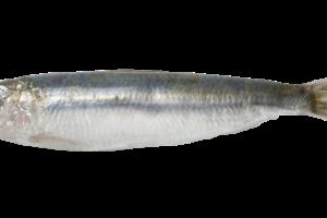 Sardine PNG Images.