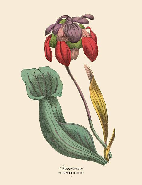 Sarracenia Or Trumpet Pitcher Plant Victorian Botanical.