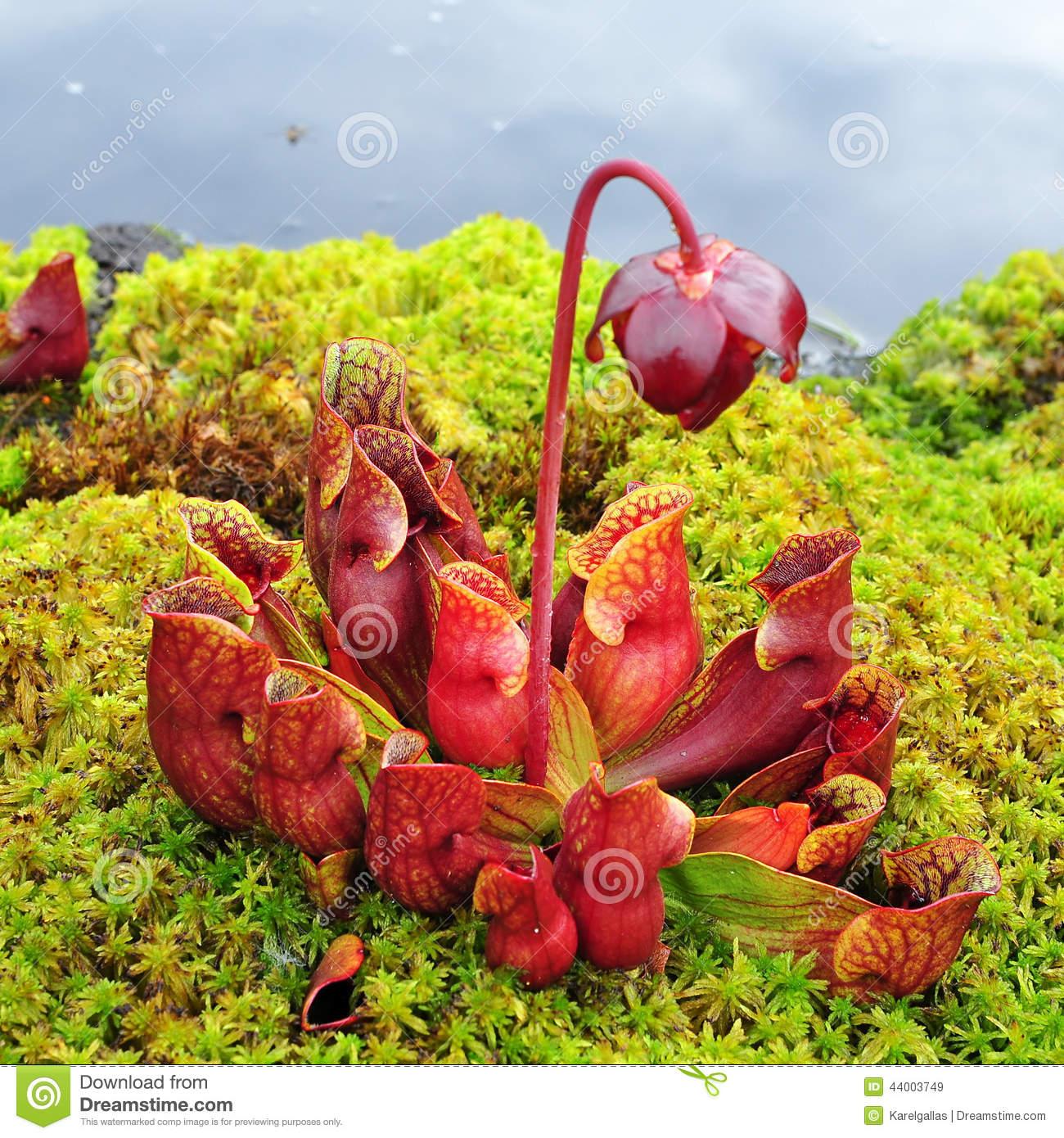 Sarracenia Purpurea Stock Photo.