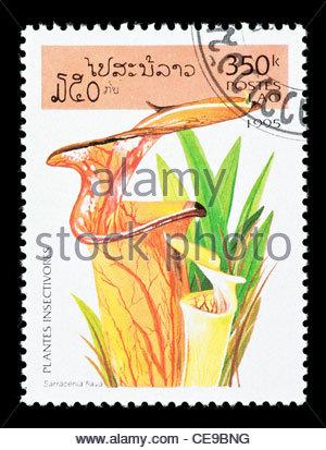 Carnivorous Pitcher Plant Sarracenia Flava Stock Photo, Royalty.