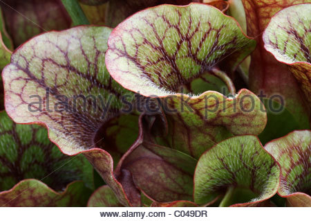 Purple Pitcher Plant Or Side.