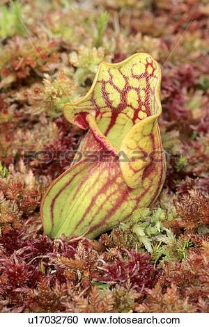 Stock Photography of Pitcher plant (Sarracenia purpurea.