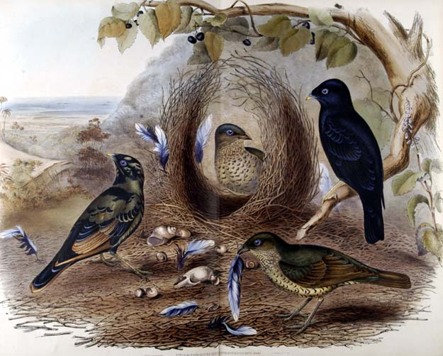 Satin bower bird.