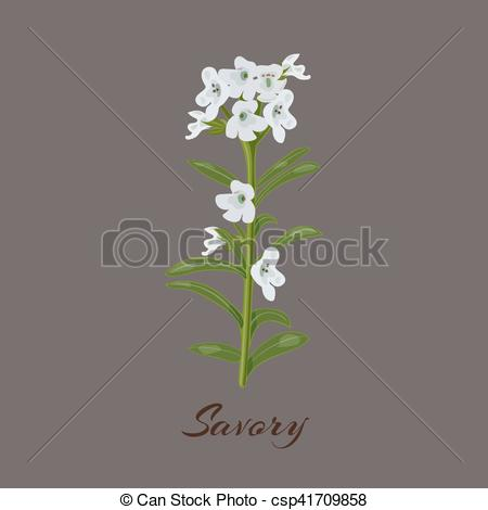 Clipart Vector of Savory. known as Satureja montana. Flowers and.