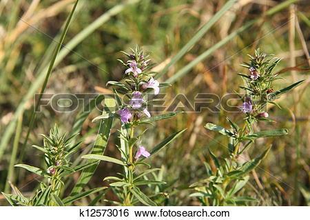 Stock Images of Satureja montana.