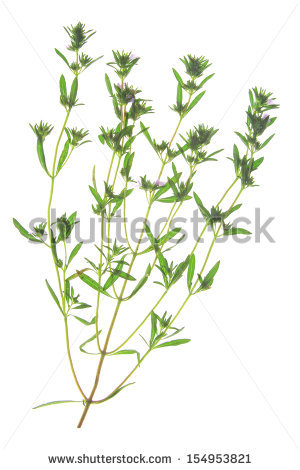 Hyssop Hyssopus Officinalis Twigs Leaves Flowers Stock Photo.