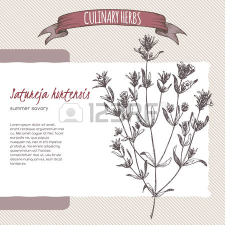 0 Traditional Savoury Herb Stock Vector Illustration And Royalty.