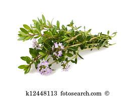 Satureja hortensis Stock Photo Images. 52 satureja hortensis.