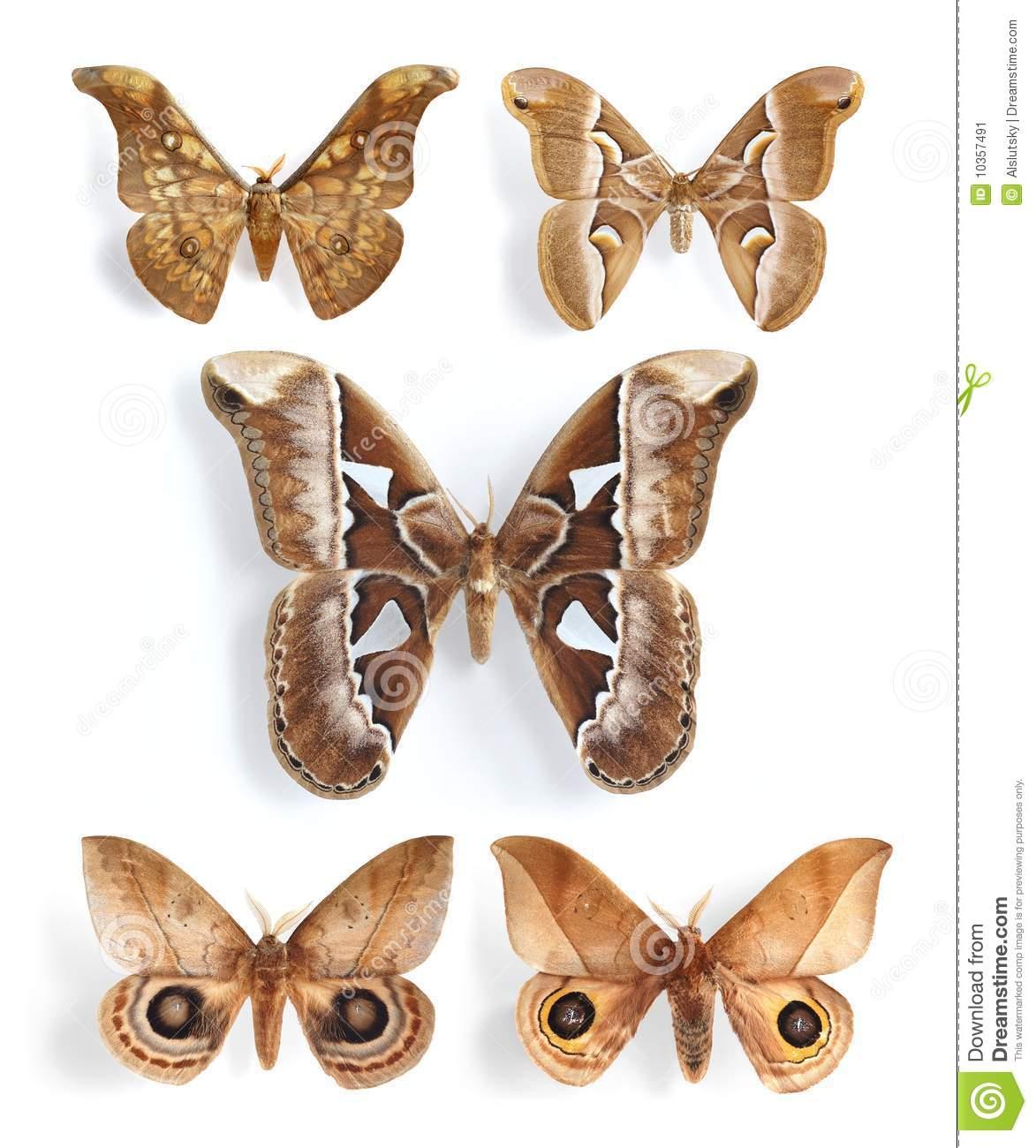 Saturniidae, Silk Moths (panel) Stock Image.