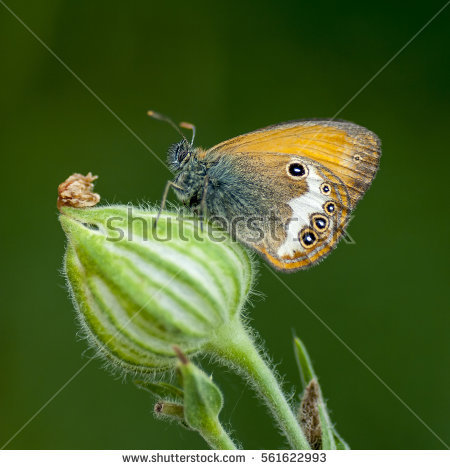 Nymphalid Butterfly Stock Photos, Royalty.