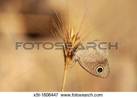 Picture of Common Threering or African Ringlet Ypthima asterope is.