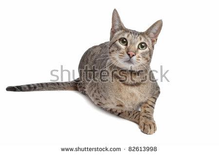 Savannah Cat Stock Photos, Royalty.