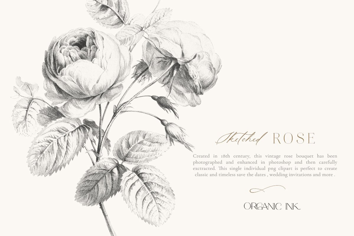 Sketched Rose Single vintage clipart ~ Illustrations.