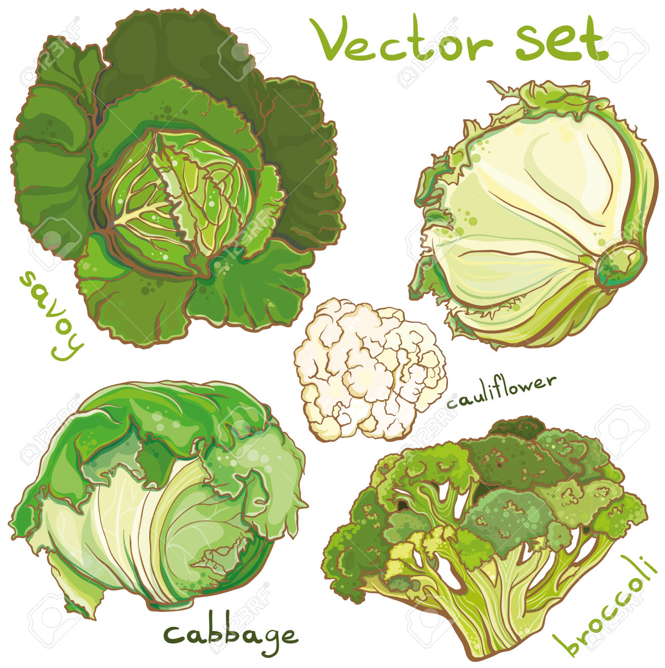 76 Savoy Cabbage Cliparts, Stock Vector And Royalty Free Savoy.