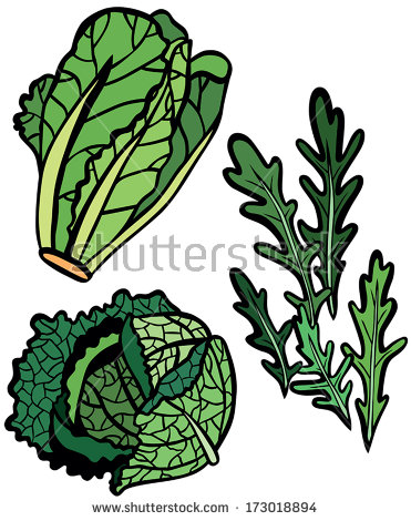 Savoy cabbage free vector download (41 Free vector) for commercial.