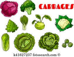 Savoy cabbage Clip Art Illustrations. 35 savoy cabbage clipart EPS.
