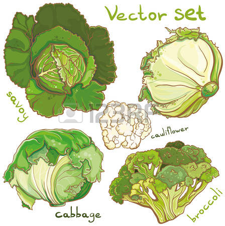 69 Savoy Cabbage Cliparts, Stock Vector And Royalty Free Savoy.