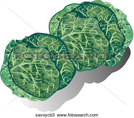 Drawing of Savoy Cabbage.