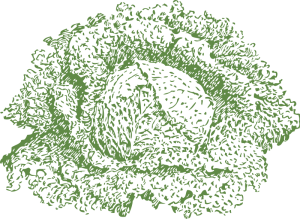 Savoy Cabbage Clip Art Download.