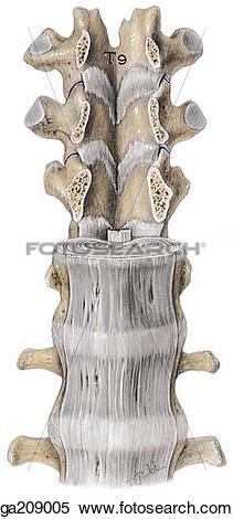Stock Illustration of Anterior view of the anterior longitudinal.