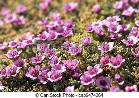 Stock Photo of Purple saxifraga.